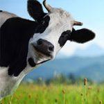 کاربرد غضروف گاو در عمل های جراحی چیست؟